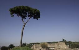Eenzame pijnboomboom op Palatine heuvel Stock Afbeeldingen