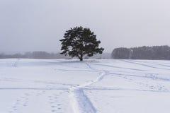 Eenzame pijnboomboom tijdens een lichte sneeuwval Royalty-vrije Stock Afbeelding