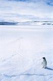 Eenzame Pinguïn op Overzees Ijs Stock Foto