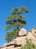Eenzame Ponderosa-Pijnboom bij Schildpadrotsen Colorado Stock Foto's