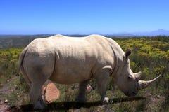 Eenzame rinoceros Stock Foto