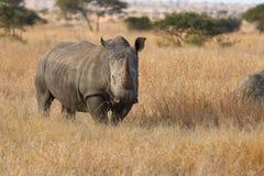 Eenzame rinoceros die zich op open gebied bevinden die veiligheid van stroper zoeken Royalty-vrije Stock Foto's