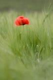 Eenzame rode bloem Royalty-vrije Stock Foto's