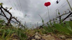 Eenzame rode papaver bij wijngaard stock videobeelden