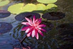 Eenzame Roze Lelie Royalty-vrije Stock Afbeeldingen