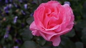 Eenzame Roze nam toe Royalty-vrije Stock Foto