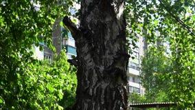 Eenzame Russische berk op een achtergrond van groene bladeren stock videobeelden