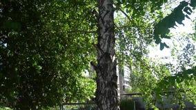Eenzame Russische berk op een achtergrond van groene bladeren stock video