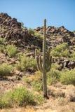 Eenzame saguaro in de woestijn in Arizona stock fotografie