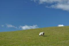 Eenzame schapen op gebied stock foto's
