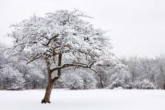 Eenzame sneeuw behandelde boom Stock Afbeelding