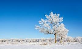 Eenzame snow-covered bomen Stock Afbeeldingen