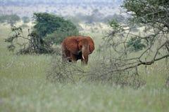 Eenzame stier Stock Foto's