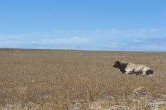Eenzame Stier op onvruchtbaar gebied Stock Afbeeldingen
