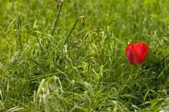 Eenzame tulp Royalty-vrije Stock Afbeelding