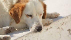 Eenzame verdwaalde hond die in straat liggen, die aan het hongerige miserabele leven, dakloosheid lijden stock videobeelden