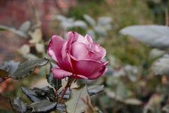 Eenzame violet nam bloem die in de herfsttuin verwelken toe Stock Afbeelding