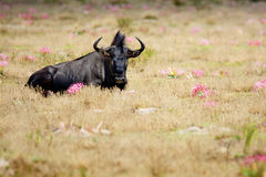 Eenzame Wildebeest-Stier Stock Foto's