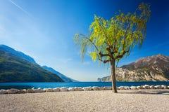 Eenzame wilg in Torbole dichtbij meer Garda stock fotografie