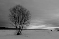 Eenzame witte berk op kustzandduin Stock Foto's