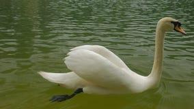 Eenzame witte zwaan dichte omhooggaand stock videobeelden