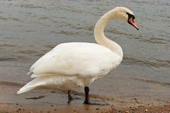 Eenzame witte zwaan op zeekust stock foto's