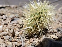 Eenzame Woestijncactus stock foto