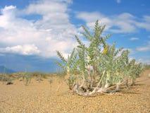 Eenzame woestijninstallatie Royalty-vrije Stock Fotografie
