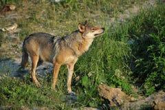 Eenzame wolf Stock Foto's