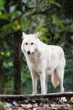 Eenzame Wolf Royalty-vrije Stock Afbeeldingen