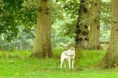 Eenzame Wolf in Bos stock afbeeldingen