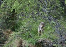 Eenzame wolf in de borstel van Alaska stock fotografie