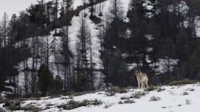 Eenzame wolf op een heuveltop Royalty-vrije Stock Foto