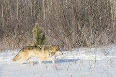 Eenzame wolf op jacht stock afbeelding
