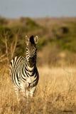 Eenzame Zebra Stock Foto's
