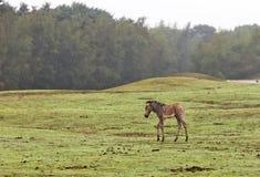Eenzame zebra Stock Fotografie