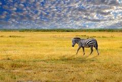 Eenzame zebra royalty-vrije stock afbeeldingen