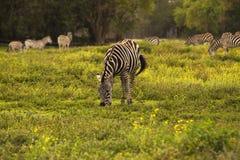 Eenzame Zebra Stock Afbeelding