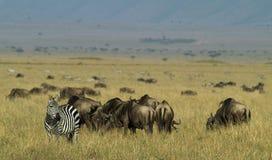 Eenzame Zebra Royalty-vrije Stock Foto's