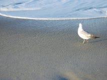 Eenzame Zeemeeuw Stock Fotografie