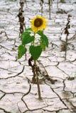 Eenzame zonnebloem Stock Afbeelding
