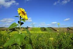 Eenzame zonnebloem Royalty-vrije Stock Foto's