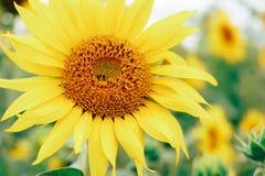 Eenzame zonnebloem in gebieds dichte omhooggaand royalty-vrije stock foto