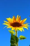 Eenzame zonnebloemen Stock Afbeelding