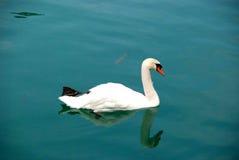 Eenzame zwaan op het meer Royalty-vrije Stock Foto