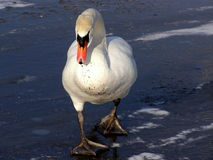 Eenzame zwaan op ijs Stock Foto's