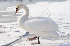 Eenzame zwaan op ijs Royalty-vrije Stock Afbeeldingen