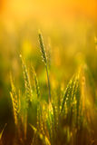 Eer of wheat Royalty Free Stock Images
