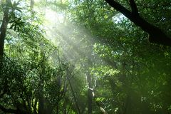Eerie atmosphere with sunshine and bright green leaves, Yakushima, Japan. Sunshine in the primeval forest of Yakushima creating an eerie atmosphere royalty free stock images