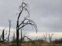 Eerie forest. Spooky shapes remain in a burned-out forest Stock Photography